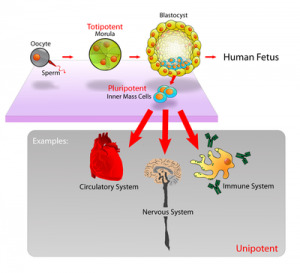 400px-Stem_cells_diagram